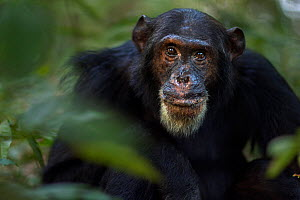 Eastern chimpanzee (Pan troglodytes schweinfurtheii) male 'Freud' aged 40 years feeding on fruit head and shoulders portrait. Gombe National Park, Tanzania.  -  Anup Shah