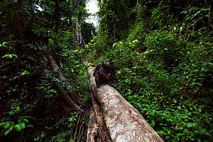 Eastern chimpanzee (Pan troglodytes schweinfurtheii) male 'Frodo' aged 35 years walking along a fallen tree. Gombe National Park, Tanzania.  -  Anup Shah