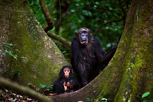 Eastern chimpanzee (Pan troglodytes schweinfurtheii) female 'Gremlin' aged 40 years with her infant son 'Gizmo' aged 1-2 years sitting between two trees. Gombe National Park, Tanzania.  -  Anup Shah