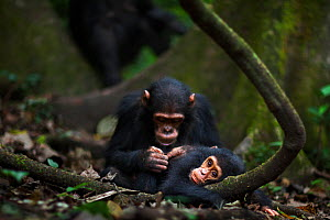 Eastern chimpanzee (Pan troglodytes schweinfurtheii) juvenile male 'Gimli' aged 7 years grooming his baby brother 'Gizmo' aged 1-2 years. Gombe National Park, Tanzania.  -  Anup Shah