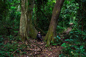 Eastern chimpanzee (Pan troglodytes schweinfurtheii) juvenile male 'Gimli' aged 7 years sitting between two trees scanning the canopy for fruit. Gombe National Park, Tanzania.  -  Anup Shah