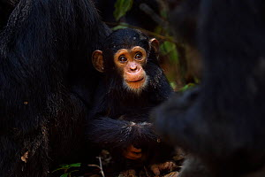 Eastern chimpanzee (Pan troglodytes schweinfurtheii) infant male 'Nyota' aged 8 months playing in the middle of a grooming group. Gombe National Park, Tanzania. - Anup Shah