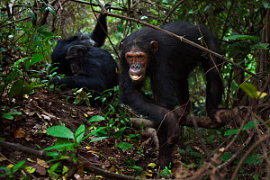 Eastern chimpanzee (Pan troglodytes schweinfurtheii) adolescent female 'Golden' aged 13 years walking while others groom in the background. Gombe National Park, Tanzania.  -  Anup Shah