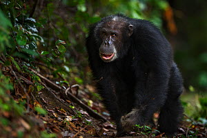 Eastern chimpanzee (Pan troglodytes schweinfurtheii) male 'Apollo' aged 32 years displaying. Gombe National Park, Tanzania.  -  Anup Shah