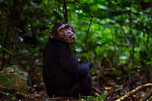Eastern chimpanzee (Pan troglodytes schweinfurtheii) adolescent male 'Fudge' aged 14 years sitting portrait. Gombe National Park, Tanzania.  -  Anup Shah