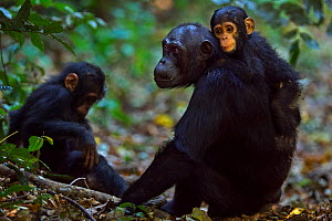 Eastern chimpanzee (Pan troglodytes schweinfurtheii) infant male 'Fifty' aged 9 months sitting on his  mother 'Fanni's' back aged 30 years with sister 'Fadhila' aged 3 years. Gombe National Park, Tanz...  -  Anup Shah