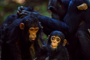 Eastern chimpanzee (Pan troglodytes schweinfurtheii) infant male 'Fifty' aged 9 months sitting with his sister 'Fadhila' aged 3 years while his mother 'Fanni' aged 30 years grooms his other sister 'Fa... - Anup Shah