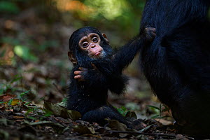 Eastern chimpanzee (Pan troglodytes schweinfurtheii) infant male 'Fifty' aged 9 months sitting on the forest floor while holding tightly to his mother. Gombe National Park, Tanzania. - Anup Shah