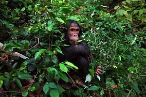 Eastern chimpanzee (Pan troglodytes schweinfurtheii) adolescent male 'Tarzan' aged 11 years feeding on foliage. Gombe National Park, Tanzania.  -  Anup Shah
