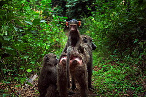 Olive baboon (Papio cynocephalus anubis) infant aged 6-9 months sitting on its mother's back while she is being groomed. Gombe national Park, Tanzania.  -  Anup Shah