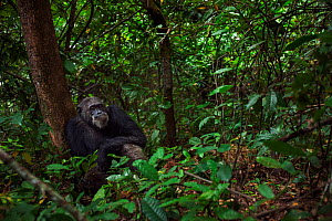 Eastern chimpanzee (Pan troglodytes schweinfurtheii) male 'Frodo' aged 35 years sitting on the forest floor. Gombe National Park, Tanzania.  -  Anup Shah