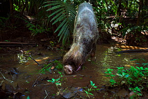 Bearded pig (Sus barbatus) drinking from a pool of water - wide angle perspective. Bako National Park, Sarawak, Borneo, Malaysia.  -  Anup Shah