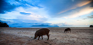 Bearded pigs (Sus barbatus) foraging on the beach at low tide wide angle perspective. Bako National Park, Sarawak, Borneo, Malaysia.  -  Anup Shah