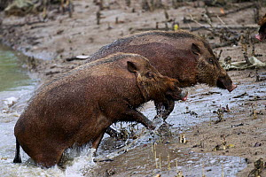 Bearded pigs (Sus barbatus) coming out of the river they have just swam across to get to a new feeding area . Bako National Park, Sarawak, Borneo, Malaysia.  -  Anup Shah