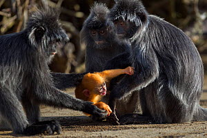 Silvered / silver-leaf langur (Trachypithecus cristatus) fighting over young  baby aged 2 weeks. Bako National Park, Sarawak, Borneo, Malaysia. - Anup Shah