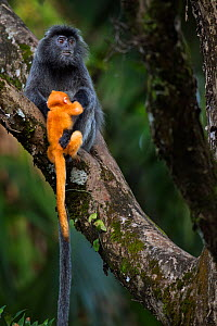 Silvered / silver-leaf langur (Trachypithecus cristatus) female handling a orange coloured young  baby aged 1-2 weeks very roughly. Bako National Park, Sarawak, Borneo, Malaysia.  -  Anup Shah