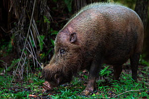 Bearded pig (Sus barbatus) foraging on the forest floor. Bako National Park, Sarawak, Borneo, Malaysia.  -  Anup Shah