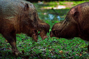 Bearded pig (Sus barbatus) males in confrontation  . Bako National Park, Sarawak, Borneo, Malaysia.  -  Anup Shah