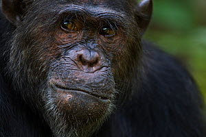 Eastern chimpanzee (Pan troglodytes schweinfurtheii) male 'Faustino' aged 22 years head portrait. Gombe National Park, Tanzania.  -  Fiona Rogers