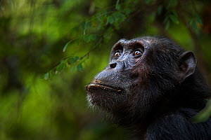Eastern chimpanzee (Pan troglodytes schweinfurtheii) male 'Pax' aged 33 years head portrait. Gombe National Park, Tanzania.  -  Fiona Rogers