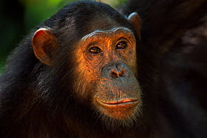 Eastern chimpanzee (Pan troglodytes schweinfurtheii) adolescent female Golden' aged 13 years  head portrait. Gombe National Park, Tanzania.  -  Fiona Rogers