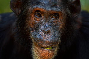 Eastern chimpanzee (Pan troglodytes schweinfurtheii) male 'Freud' aged 40 years feeding on fruit, head portrait. Gombe National Park, Tanzania.  -  Fiona Rogers