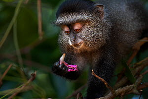 Stulmann's blue monkey (Cercopithecus mitis stuhlmanni) baby aged 9-12 months feeding on a flower from a Morning Glory plant . Kakamega Forest South, Western Province, Kenya. - Fiona Rogers