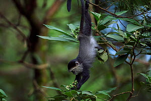 Stulmann's blue monkey (Cercopithecus mitis stuhlmanni) baby aged 9-12 months hanging down to reach leaves to feed on. Kakamega Forest South, Western Province, Kenya. - Fiona Rogers