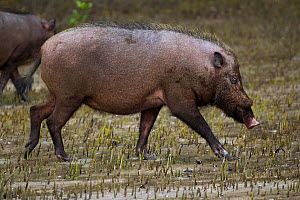 Bearded pig (Sus barbatus) walking through the mangrove swamp revealed at low tide. Bako National Park, Sarawak, Borneo, Malaysia.  -  Fiona Rogers