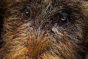 Bearded pig (Sus barbatus) mature male close up of face and eyes. Bako National Park, Sarawak, Borneo, Malaysia.  -  Fiona Rogers