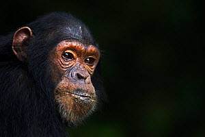 Eastern chimpanzee (Pan troglodytes schweinfurtheii) juvenile male 'Tom' aged 10 years head portrait. Gombe National Park, Tanzania.  -  Fiona Rogers