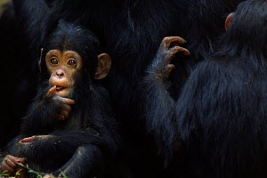 Eastern chimpanzee (Pan troglodytes schweinfurtheii) infant male 'Fifty' aged 9 months sitting next to his mother and sister. Gombe National Park, Tanzania. - Fiona Rogers