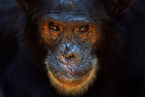 Eastern chimpanzee (Pan troglodytes schweinfurtheii) male 'Freud' aged 40 years head portrait. Gombe National Park, Tanzania.  -  Fiona Rogers