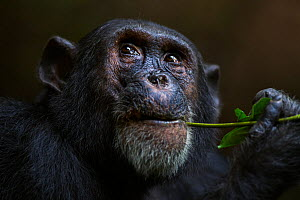 Eastern chimpanzee (Pan troglodytes schweinfurtheii) male 'Freud' aged 40 years feeding on a vine. Gombe National Park, Tanzania.  -  Fiona Rogers