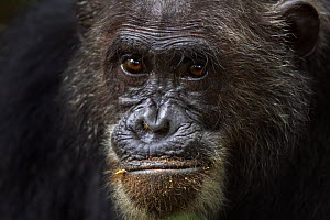 Eastern chimpanzee (Pan troglodytes schweinfurtheii) male 'Frodo' aged 35 years head portrait. Gombe National Park, Tanzania.  -  Fiona Rogers