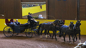 Marbach staff in traditional uniform driving four Wurttemberg stallions during the stud's 500th anniversary celebrations. Marbach National Stud, Swabian Alps, near Reutlingen, in Baden-Wurttemberg, Ge...  -  Kristel  Richard