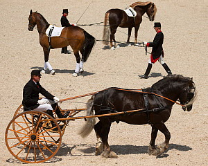 Marbach staff in traditional uniform drive a Black Forest stallion and a Norman Cob stallion during the stud's 500th anniversary celebrations. Marbach National Stud, Swabian Alps, near Reutlingen, in...  -  Kristel  Richard