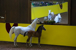 Pure Arab mares and foals run in the arena during the stud's 500th anniversary celebrations. Marbach National Stud, Swabian Alps, near Reutlingen, in Baden-Wurttemberg, Germany. May 2014.  -  Kristel  Richard