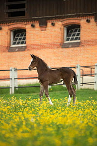 A newborn warmblood Wurttemberger or Wurttemberg colt standing in front of the historical stables at Marbach National Stud, Swabian Alps, near Reutlingen, in Baden-Wurttemberg, Germany, May. - Kristel  Richard