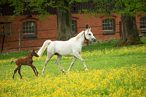 A pure Arab mare and her foal trotting. Marbach National Stud, Swabian Alps, near Reutlingen, in Baden-Wurttemberg, Germany, May. - Kristel  Richard