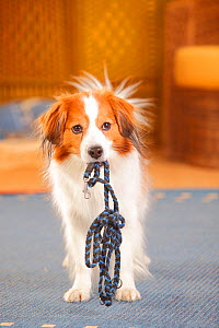 Kooikerhondje dog, male carrying lead in mouth. - Petra Wegner