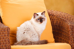 Sacred Cat of Birma, tomcat, with seal-point colouration, age 6 months. Resting in armchair. - Petra Wegner