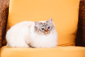 Sacred Cat of Birma with seal-tabby-point colouration, female age 2 years, in armchair. - Petra Wegner