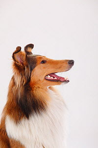 Rough Collie, sable-white male, portrait against white background. - Petra Wegner