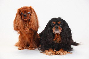 Cavalier King Charles Spaniel, males, ruby and black-and-tan, 5 1/2 and 10 years old  -  Petra Wegner