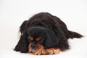Cavalier King Charles Spaniel, male, black-and-tan, 10 years old  -  Petra Wegner