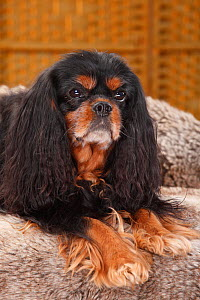 Cavalier King Charles Spaniel, black-and-tan, 10 years old  -  Petra Wegner