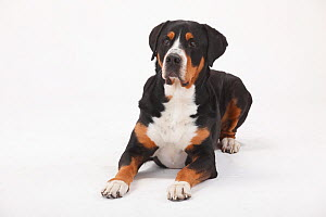 Greater Swiss Mountain Dog, male age 7 years. Portrait against white background.  -  Petra Wegner