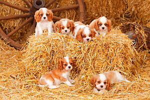 Cavalier King Charles Spaniel, puppies with blenheim colouration, resting in straw, age 8 weeks. - Petra Wegner