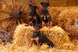 German Hunting Terrier, mother (left) with female puppies age 9 months, sitting in straw. - Petra Wegner